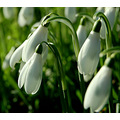 whitefriday snowdrops taw valley north devon