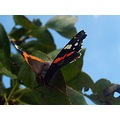 redadmiral butterfly upsidedown butterfly