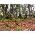 mountains trees foliage carpathians forest nature grubs compautumn07