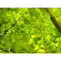 Leaves Green