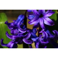 ShutterlySpectacularPhotography HyacinthBlossoms Flowers Spring2013