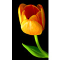 tulip opening flower green yellow orange