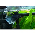 aquarium fish betta splendens