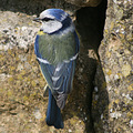 blue tit luxembourg