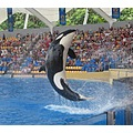 animals animal orca killer whale water splash jump