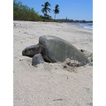 Olive Ridley Turtle in Costa Rica