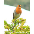bird robin feather song sing winter christmas nature breast carlsbirdclub