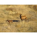 cow and calf elk