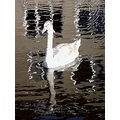 Swan Reflectionthursday