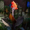 plant red canna morning light