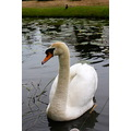 hever castle uk lake swan petzka beauty