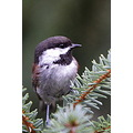 chickadee chestnutbacked birds BC Canada