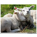 sheep lambs animal nature