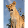 Wildlife lion zimbabwe