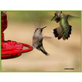 hummingbirds annas blackchinned