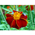 tagetes flowers flies