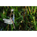 dragonfly dew drops dead or alive bullsbrook littleollie