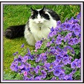 cat milibuhscatclub liescatsclub geraniums flowers