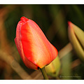 Tulip early morning frost