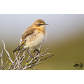 The northern wheatear or wheatear (Oenanthe oenanthe) immature. Yes - there are still a few aroun...