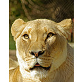 Lioness lion cat feline mane animal mammal nature wildlife