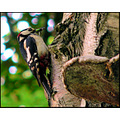 birds great spotted woodpecker