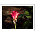 Rose Plant Flower doubledelight Aloha Oregon