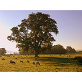bishops tawton devon oak sun sheep