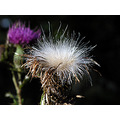 thistle seed nature wildflower