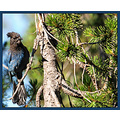 birds nature CraterLakeNationalPark StellarJay