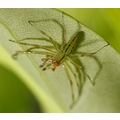 Spider green Leaf mkass