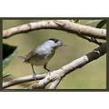And that's Mr. Blackcap
