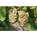 grapes moselle luxembourg