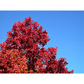 autumn red redfph tree bluesky