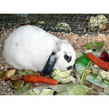 rabbit pet eat food veges