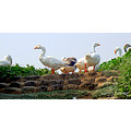 Ducks at Chandigarh's Sukhna Lake a protected national wetland by the government of India