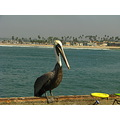 pelican at ocean beach
