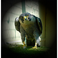 bird of prey stare animal falcon scary