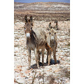 Cape Verde Islands Boa Vista Donkeys wildlife