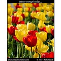 stlouis missouri usa flower tulip red yellow beauty 032612