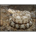 Male white speckled rattlesnake