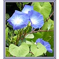 morningglory flowers