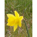 dafodil promise of spring