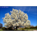 stlouis missouri us usa spring season color tree blossom sky clouds 040310
