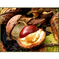 chestnut chestnuts fruits autumn october France leaves forest