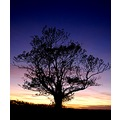 evening tree devon