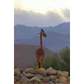 Animal Giraffe Living Desert Indian Wells California Pankey Wildspirit