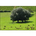 Landscape Beaujolais wineyard august France countryside goats animals