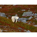 Rocky Mountain goats above Ketchikan, Alaska