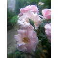 roses flowers misty nature garden